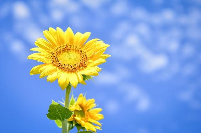 ひまわり、向日葵、お盆