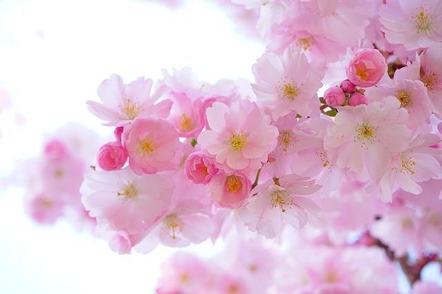 さくら、桜、お彼岸